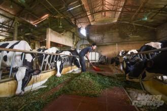 Chuyển đổi từ nuôi lợn sang nuôi bò sữa, từ chỗ chỉ có 1-2 mẫu đất trồng cỏ, nhờ lợi nhuận ổn định, gia đình này đã đầu tư, mua thêm đất trồng cỏ, đảm bảo được nguồn cung thức ăn cho đàn bò 47 con