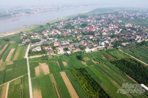 Nằm giữa sông Hồng, sau 10 năm tập trung chuyển đổi cơ cấu đàn vật nuôi, tổng đàn bò toàn xã Minh Châu phát triển mạnh