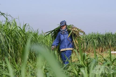 Những cánh đồng cỏ bạt ngàn ở Minh Châu là nguồn thức ăn cho hơn 4.000 con bò các loại của xã